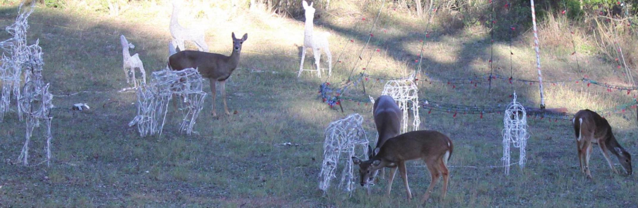 Four real deer mingled with the lighted reindeer frames at the park Tuesday afternoon. Photos by Jeff Wick
