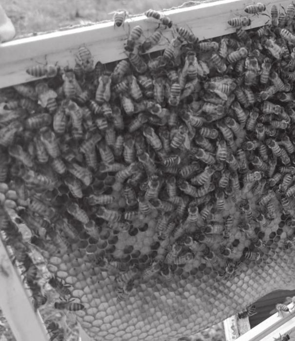 The bees gather around the honey comb when the Biles go to collect the honey.